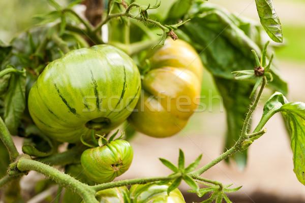 Domates çalı bahçe doğa sebze Stok fotoğraf © Kzenon