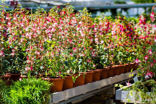 Virág növény üvegház virágüzlet virágok bolt Stock fotó © Kzenon