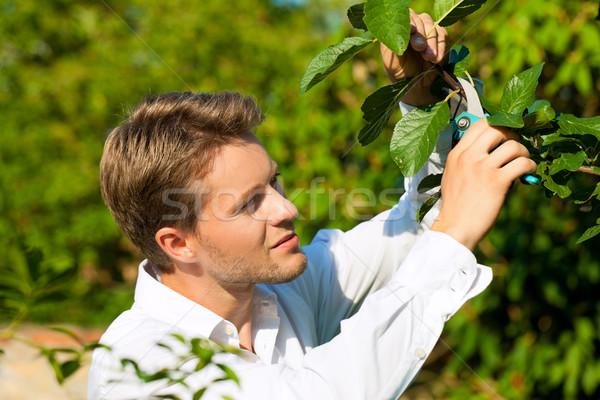 Férfi vág gyümölcsfa körülvágó kert gyönyörű Stock fotó © Kzenon