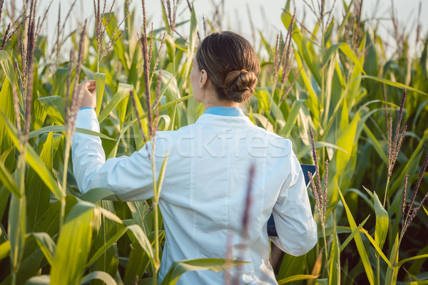 Scientist in corn field testing a new GMO breed Stock photo © Kzenon