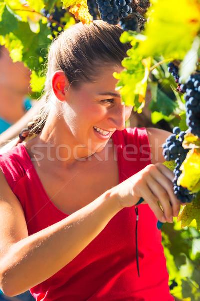 Winegrower picking grapes at harvest time Stock photo © Kzenon