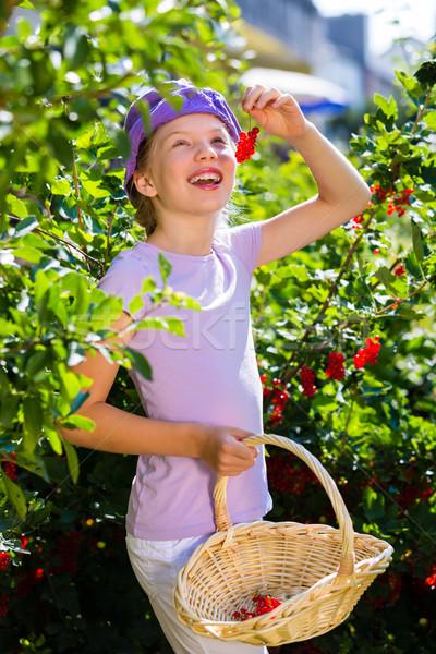 Child harvesting berries in garden from bush Stock photo © Kzenon