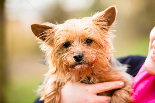 Yorkie being hold by dog mama Stock photo © Kzenon