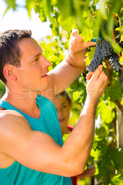 Man picking grapes with shear at harvest time Stock photo © Kzenon