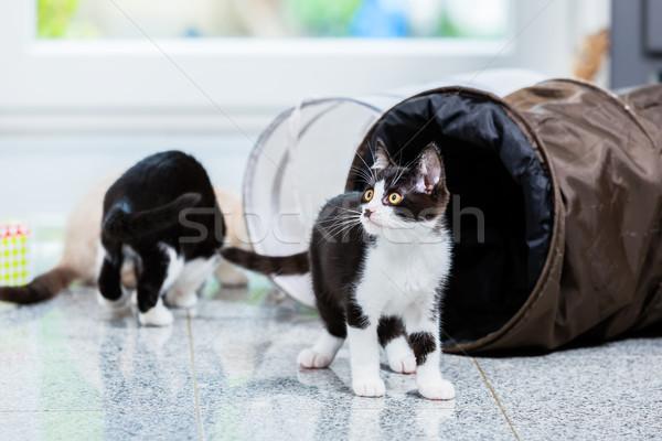 Cute kotów gry tunelu piętrze apartamentu Zdjęcia stock © Kzenon