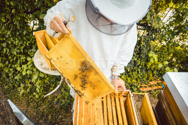 Beekeeper working on bee colony holding honeycomb Stock photo © Kzenon