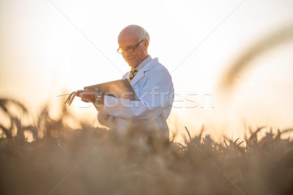Férfi kutatás gabona búzamező mezőgazdasági tudós Stock fotó © Kzenon