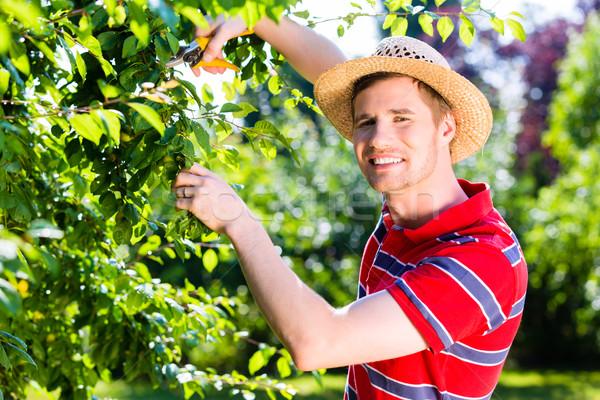 Man pruning tree in orchard garden Stock photo © Kzenon