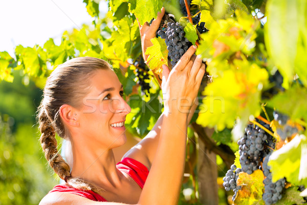 Woman picking grapes with shear at harvest time Stock photo © Kzenon