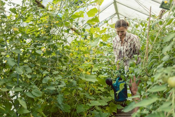 Kertészkedés nő locsol paradicsomok üvegház munka Stock fotó © Kzenon
