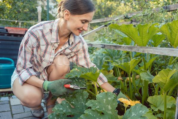 Nő kert aratás uborkák cukkini zöldség Stock fotó © Kzenon