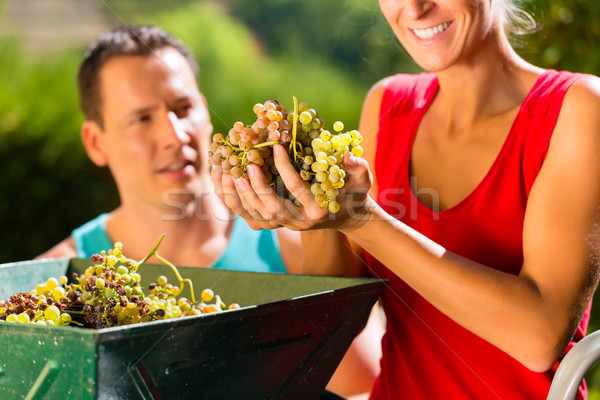 Woman and man working with grape harvesting machine  Stock photo © Kzenon