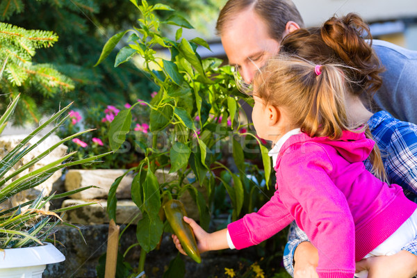 Family in garden harvesting bell pepper Stock photo © Kzenon