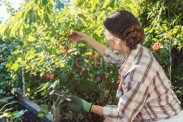 Nő kert aratás piros ribiszke bogyók Stock fotó © Kzenon