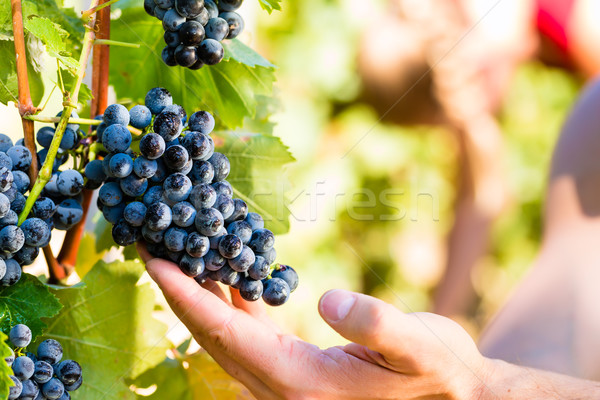 winemaker picking wine grapes  Stock photo © Kzenon