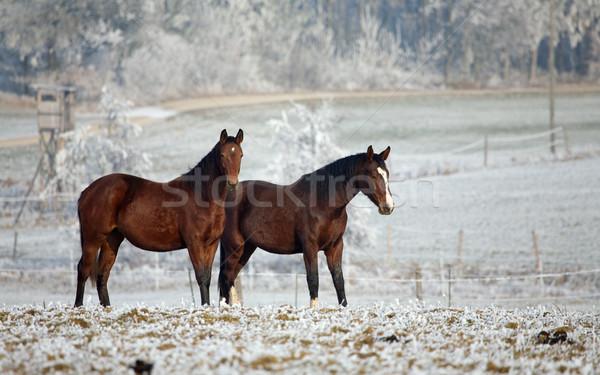 Inverno cavallo due cavalli piedi campo Foto d'archivio © Kzenon