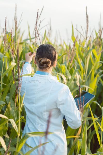 Scientist in corn field testing a new GMO breed Stock photo © Kzenon