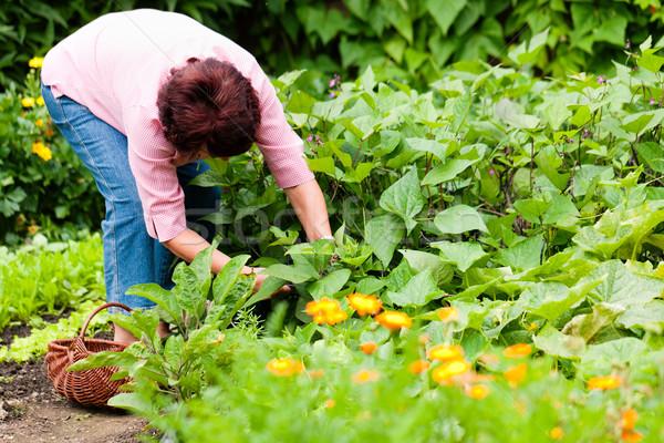 Foto d'archivio: Donna · raccolta · cetrioli · giardino · coltello