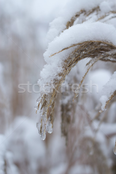 grass covered with snow and ice  Stock photo © laciatek