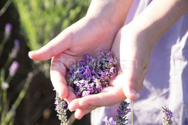 lavender in female hands Stock photo © laciatek