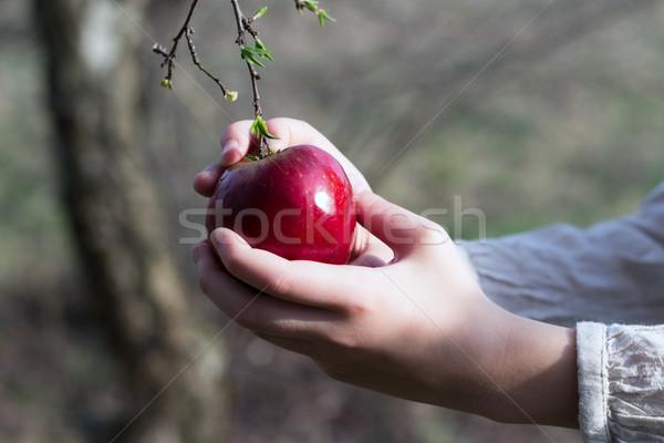 red apple in female hand Stock photo © laciatek