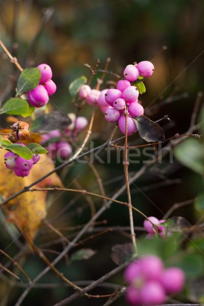 Roze natuurlijke vogelvoer winter steeg achtergrond Stockfoto © laciatek