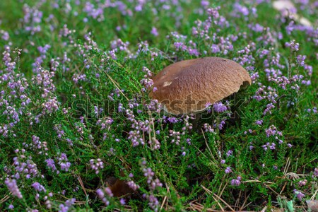 Boletus growing among the heather Stock photo © laciatek