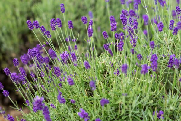 Lavanta çiçek doğa güzellik yaz bitki Stok fotoğraf © laciatek
