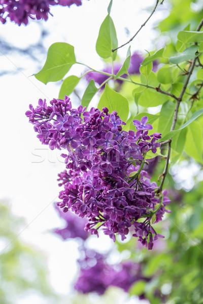 Natuur tuin schoonheid zomer plant Stockfoto © laciatek