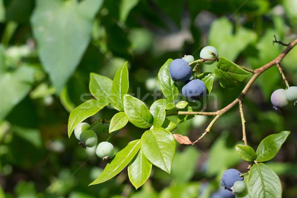 Comida natureza planta sobremesa agricultura Foto stock © laciatek