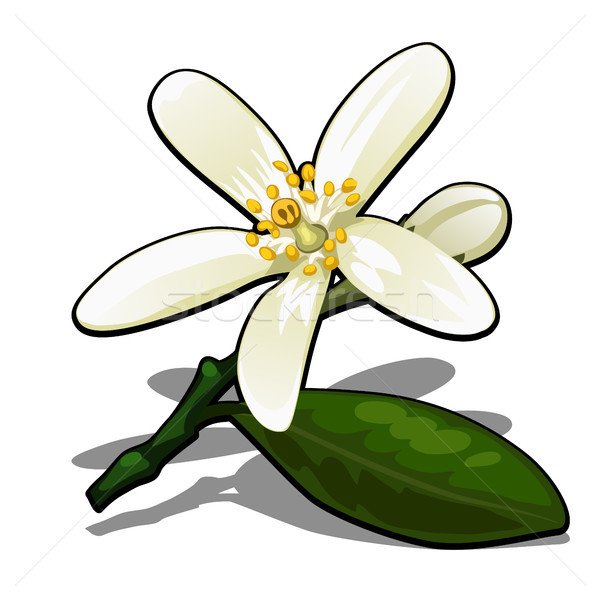 Single flower of lemon tree isolated on a white background. Flowering tree branches in the orchard.  Stock photo © Lady-Luck