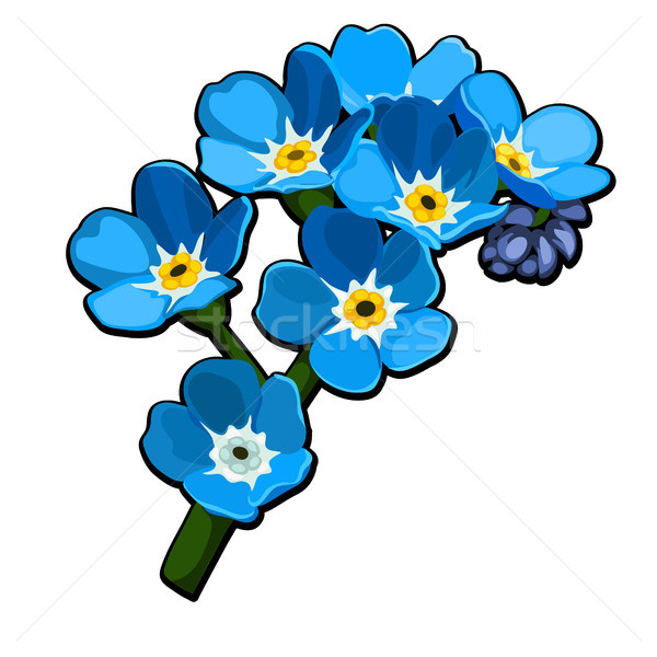 Beautiful cut flowers blue color Myosotis Arvensis (Field Forget-me-not, Common Forget-me-not) isola Stock photo © Lady-Luck
