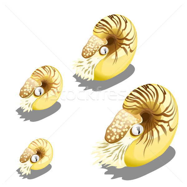 The stage of growth of the Nautilus pompilius mollusk isolated on a white background. Marine animals Stock photo © Lady-Luck