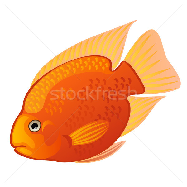 Tropical cartoon fish orange Midas cichlid or Amphilophus citrinellus isolated on white background.  Stock photo © Lady-Luck