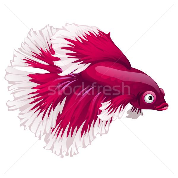 Cartoon pink betta fish, siamese fighting fish, betta splendens or Halfmoon betta isolated on white  Stock photo © Lady-Luck