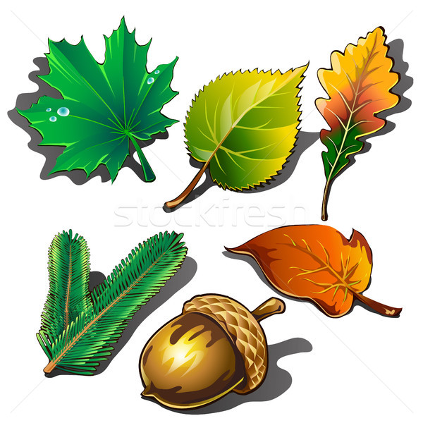 A collection of leaves of different trees and ripe acorn isolated on white background. Vector illust Stock photo © Lady-Luck