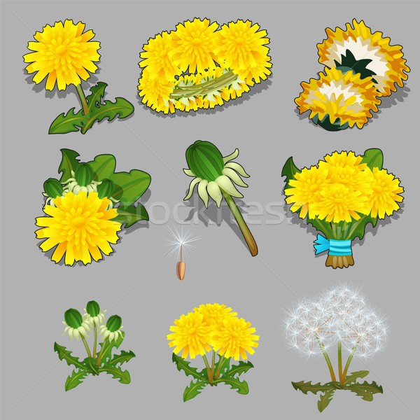 Set of stages of life of a a dandelion flower isolated on grey background. Vector cartoon close-up i Stock photo © Lady-Luck