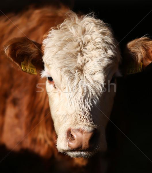 Foto d'archivio: Mucca · faccia · bianco · animale · orecchio