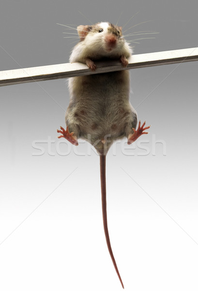 Mouse Stock photo © lalito