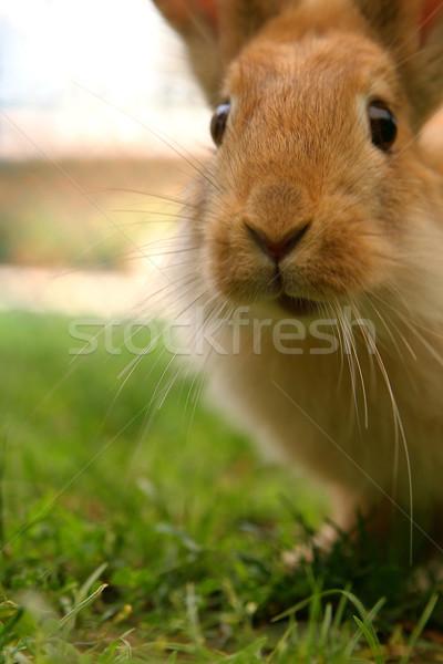 Tavşan şaşırmış bakıyor tavşan hayvanlar havuç Stok fotoğraf © lalito