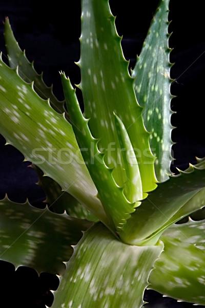 Aloë eerste vliegtuig natuur blad planten Stockfoto © lalito