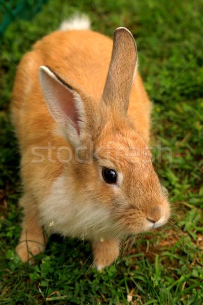 Tavşan turuncu çim arkasında zamanlamak yaz Stok fotoğraf © lalito