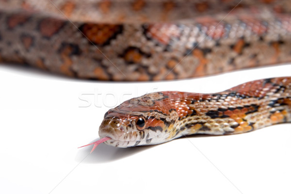Maize snake Stock photo © lalito