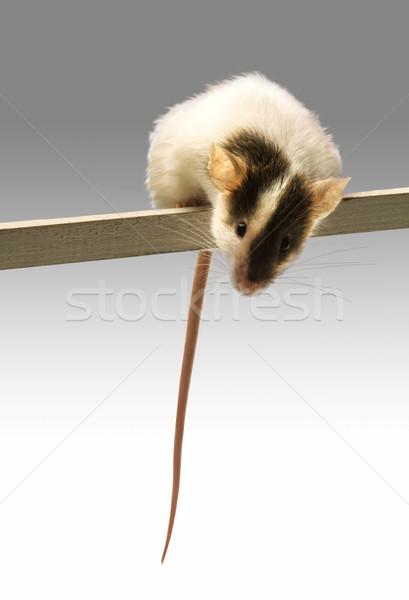 Muis balancing stick witte grappig rat Stockfoto © lalito