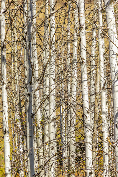 Aspen Tree Grove Stock photo © LAMeeks