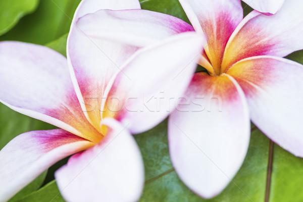 Two Hawaiian Plumerias Stock photo © LAMeeks