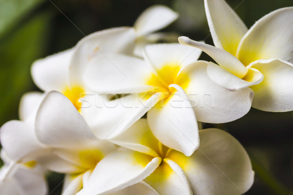 Plumeria Stock photo © LAMeeks