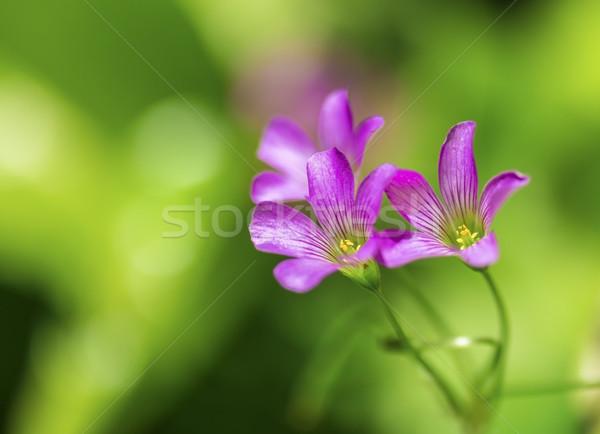 Purple Полевые цветы три крошечный тропические цветок Сток-фото © LAMeeks
