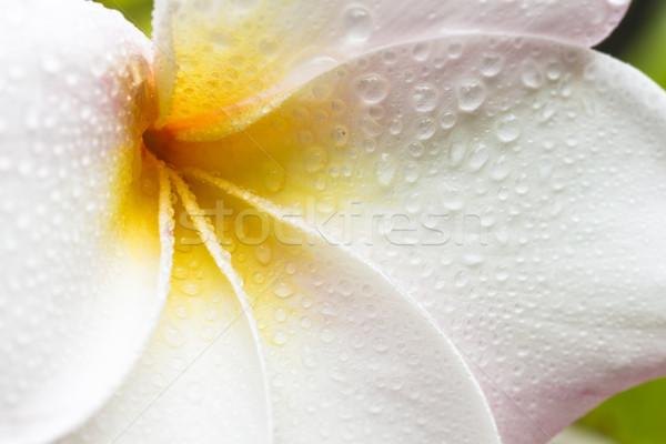 Witte Geel roze bloeien dauw Stockfoto © LAMeeks