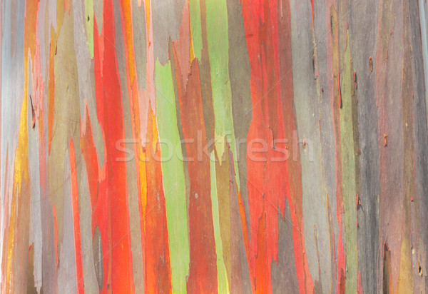 Rainbow Eucalyptus Stock photo © LAMeeks